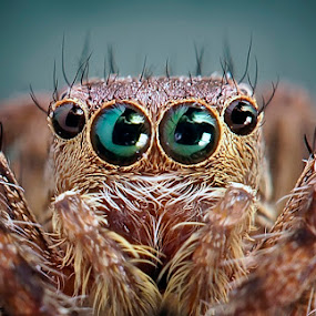 Hello Guys by Widi Hardhanu - Animals Insects & Spiders ( macro jumper spider )