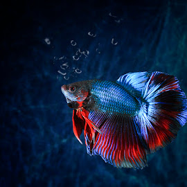 Betta in Blue by Chandra Irahadi - Animals Fish ( water, colorful, waterscape, underwater, fish, underwater photography, bubbles, shine, ready, contrast, betta, red, blue, metallic )
