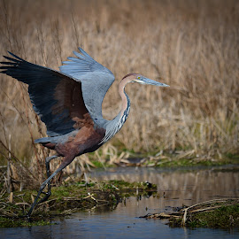 Goliath Heron by Hannes van Rooyen - Animals Birds