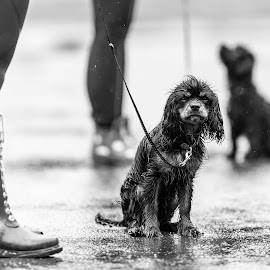 Went out and all I got was this... by Ole Walter Sundlo - Animals - Dogs Portraits ( dogs, cold, wet, dog, rain, norway )