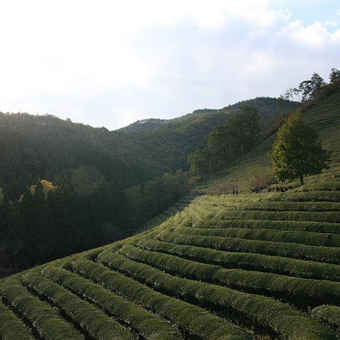 Green Tea's Stronger, Healthier Adaptation – Matcha