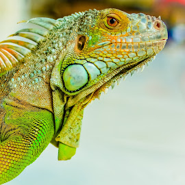 by Joy Advent - Animals Reptiles ( dragons, green, iguana, iggy, reptile, cuteanimals )
