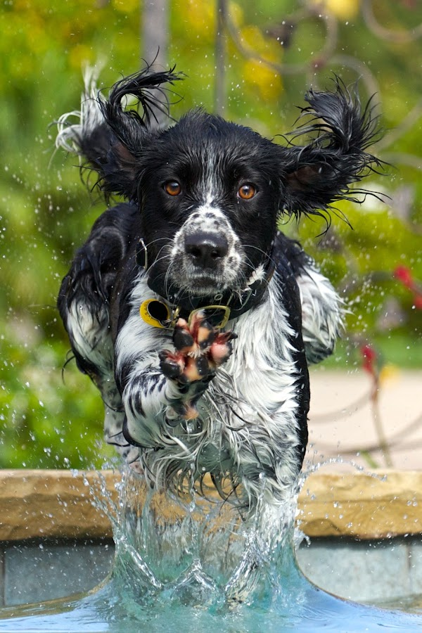 Water Dog by John Crongeyer - Animals - Dogs Running ( natural light, dogs, playful, jumping, joy, pwc76, cute, swimming, natural background, cats, playing, adorable dogs, curious, nature, happy, pets, animals in motion, action, mamal, wet, motion, animal, english springer spaniel, water, pedigree, animals, moving, rabbits, canis lupus familiaris, animalia, play, young, pwc84, cows, portrait, jump, livestock, canine, joyful, animal kingdom, pet, pwcmovinganimals, zoology, companion dog, dog, #GARYFONGPETS, #SHOWUSYOURPETS,  )
