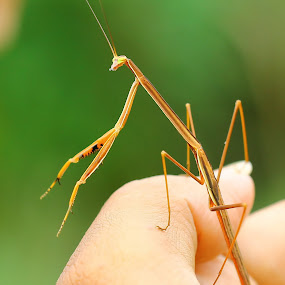 Mantis by Freddy Hernawan - Animals Insects & Spiders ( macro, mantis )