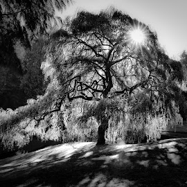 Tree of Light by Kelly Clark - Black & White Flowers & Plants ( nature, tree, starbursts, black and white, sunrise, shadows, sun )