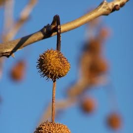 Seed Pods by Sarah Harding - Novices Only Flowers & Plants ( plant, colour, nature, novices only, seeds )
