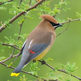 Cedar Wax Wing by Sandy Hurwitz - Animals Birds