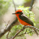Vermillon Flycatcher