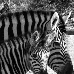 Mom and baby zebra by Rebecca Pollard - Animals Other Mammals