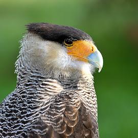Caracara by Gérard CHATENET - Animals Birds