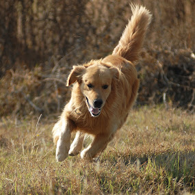 Golden by Cristobal Garciaferro Rubio - Animals - Dogs Running ( pwcmovinganimals-dq, runner, gloden retriever, golden )