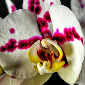Kays Orchid by Ray Ebersole - Flowers Single Flower ( orchid, flower )