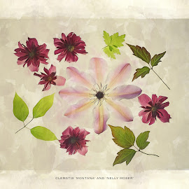 Clematis from my Garden by CLINT HUDSON - Typography Captioned Photos ( red, clematis, green, pink, leaves, flowers )