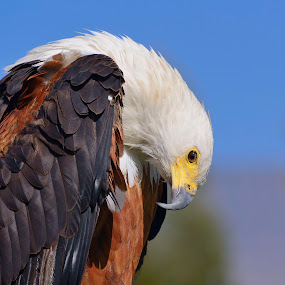 Beady Eye by Pax Bell - Animals Other ( eagle, fish eagle )