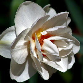 Spring White by Sarah Maria Bagay - Flowers Flowers in the Wild (  )