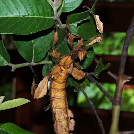 Stick Insect by Sarah Harding - Novices Only Wildlife ( nature, novices only, wildlife, insect, small )