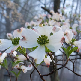 Dogwoods in April by Julie Reeves - Nature Up Close Trees & Bushes