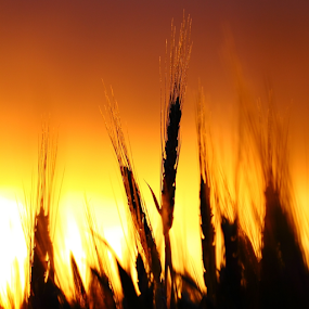 Winter Wheat At Dusk by Brian Robinson - Nature Up Close Leaves & Grasses