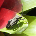 Florida leaf-footed bug
