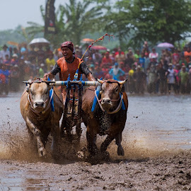 Sapi Brujul by Paulus Widjanarko - Animals Other Mammals ( cultural heritage, annual, mud, events, event, bull racing, tradition, traditional, bull, culture, event photography )