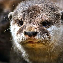 lovely otter by Nic Scott - Animals Other Mammals ( otter, animal )