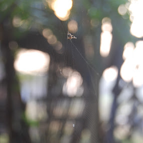 Spider & Web by Sagar Pangole - Animals Insects & Spiders ( the spider, web of spider, spider, web, spider web )