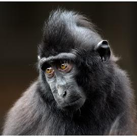 Those Eye's by Chaz Clark - Animals Other Mammals ( #eyes, #ape, #marwell zoo, #siamang monkey, #captive, #mammal, #sad )