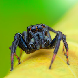 Jumping Spider by Calvin Ang - Animals Insects & Spiders ( jumping, broad, wildlife, round, yellow, insects, insect, eyes, close, broad jaw, macro, life, bugs, trail, spider, black, animal, eye, wild, park, green, forest, heavy, close up, jaw, jumper, jump, up, wild life, jungle, bug, big, natural, garden )
