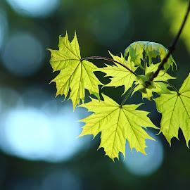jarní listy by Jarka Hk - Uncategorized All Uncategorized ( nature, leafs, color, branch, blade, spring )