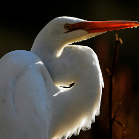 Great Egret by Josefina Macchia - Animals Birds