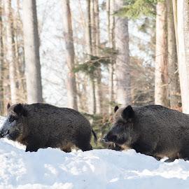 Pigg by Dušan Gajšek - Animals Other ( divja svinja, živali, bavarski gozd, narava )