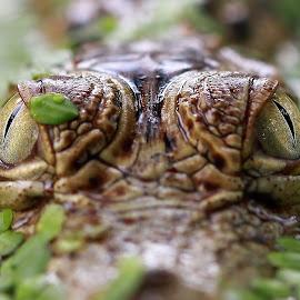 Crocodile by Kurit Afsheen - Animals Reptiles ( animals, crocodile, front, reptile, closeup, eyes )