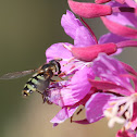 Hoverfly on Fireweed