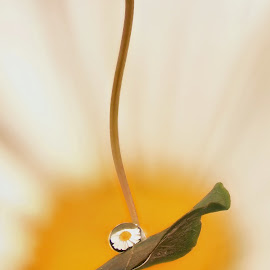 shasta in drop by Efraim van der Walt - Nature Up Close Other plants ( macro, drops colour, flowers )