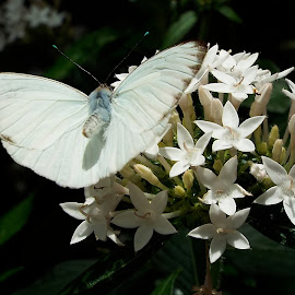 White butterfly by Donna Probasco - Novices Only Wildlife (  )