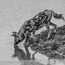 Painted dog by Garry Chisholm - Black & White Animals ( mammal, nature, garry, painted dog, water )