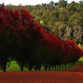 red lane by Stefanie Hawkins - Landscapes Prairies, Meadows & Fields ( red, path, trees, road, leaves )