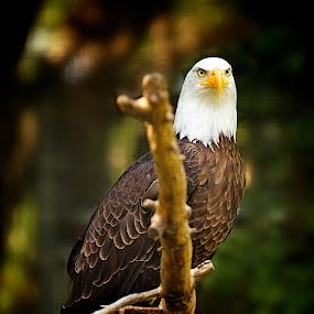 Bald Eagle by Dustin Wawryk - Animals Birds