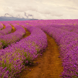 Endless Purple by Madhujith Venkatakrishna - Landscapes Prairies, Meadows & Fields