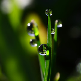 grass n dews by Muhamad Lazim - Nature Up Close Leaves & Grasses ( nature, macro photography, grass, dew )