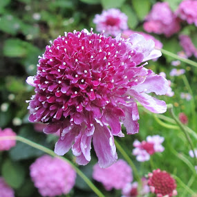 Pink Scabious by Vicki Clemerson - Flowers Single Flower ( pink flower, pink scabious, pink, scabious flower, scabious, flower,  )