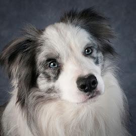 O'l Blue Eyes by Sally Turner - Animals - Dogs Portraits ( border collie, blue, blue eyes, grey, blue merle, dog )