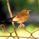 Indian robin- Female