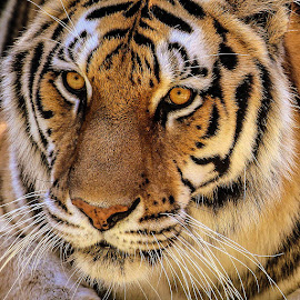 Eyes by Krishna Murukutla - Animals Lions, Tigers & Big Cats ( tigereyes, bigcats, wildlife, portraits, eyes )