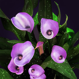 Purple Calla Lilies by Joseph Vittek - Digital Art Things ( plant, lilies, cally lily, flower )