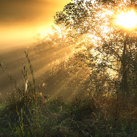 Morning rays by Attila Ádám - Nature Up Close Trees & Bushes ( tree, sunrays, sunrise, morning, godrays, golden, rays, golden hour )