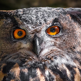Owl by Andrej Kozelj - Animals Birds ( bird, nature, owl, natural, owls )