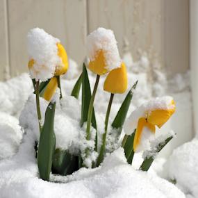 Winter's Last Gasp #1 by Tony Huffaker - Flowers Flower Gardens ( flowers )