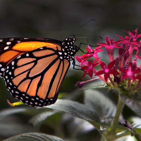 Monarch by Cristobal Garciaferro Rubio - Animals Insects & Spiders ( butterfly, monrach, glower, bokeh, monarca )