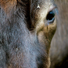 The Fly by Judy Laliberte - Novices Only Pets ( fly, horse, brown, closeup, eye )